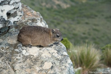 Rock Dassie (300mm)