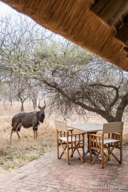 Male nyala at the lodge
