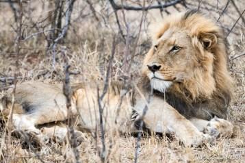 Male lion, Kapama Game Reserve