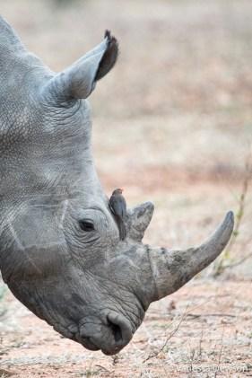 Ox pecker on a white rhino