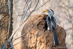 Yellow-bille Hornbill on termite mound