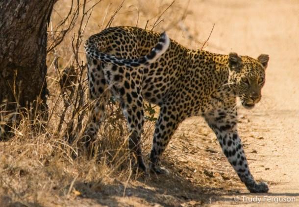 Leopard by Trudy Ferguson