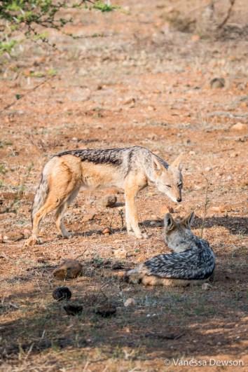 Two black-backed jackals