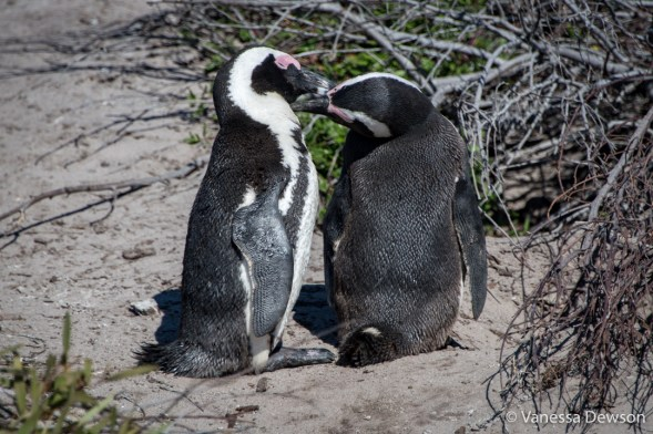 Penguin's kissing