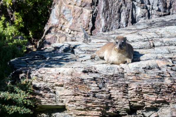 Another day, another Dassie.