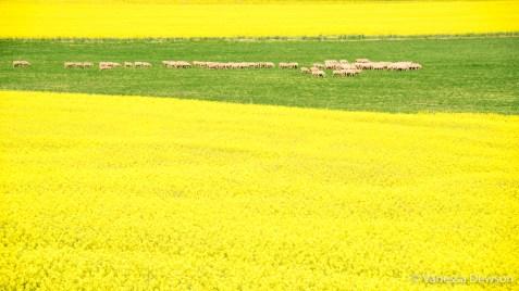 Sheep between canola fields