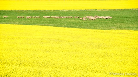 Sheep between canola fields