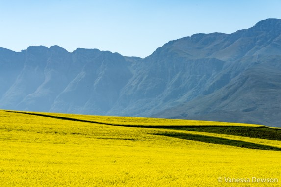 Canola fields and mountains
