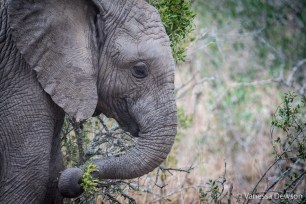 Baby Elephant Close Up - Thula Thula