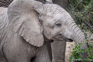 Baby Elephant Playing with Branches - Thula Thula