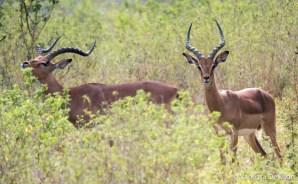 Impala - Thula Thula