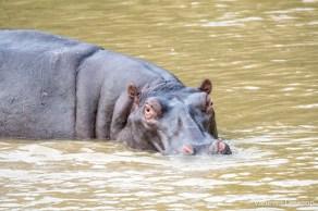 Hippo - St Lucia