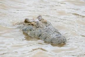 Crocodile - St Lucia