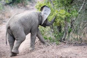 Baby Elephant - Thula Thula