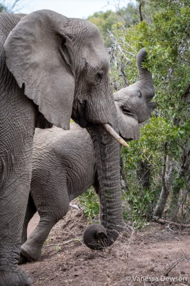 Mom and Baby ELephant - Thula Thula