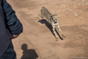 Cheetah chasing our truck