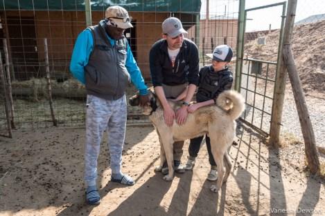 Meeting an Anatolian Shepherd