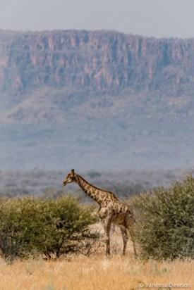 Giraffes were having lunch too.