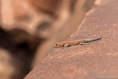 Lizard in Twyfelfontein
