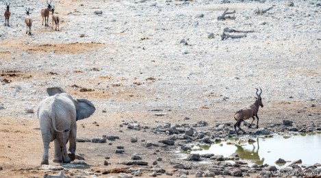 Elephant scaring a hartebeest