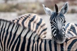 Zebra, just having a rest.