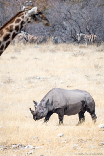 Blick Rhino photobombed by a giraffe.
