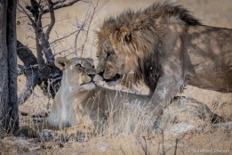 Nuzzling Lions