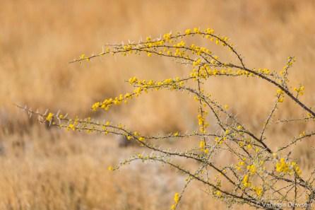 Thorn bush flowers