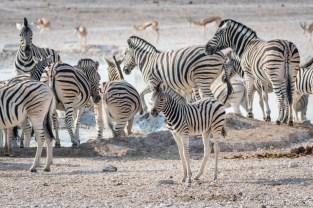 Zebras at the waterhole