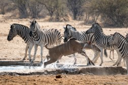 Female kudu leaving the waterhole for the zebras.