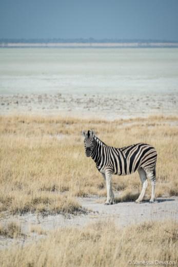 Zebra in front of the Etosha Pan