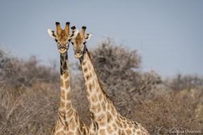 Female Giraffes
