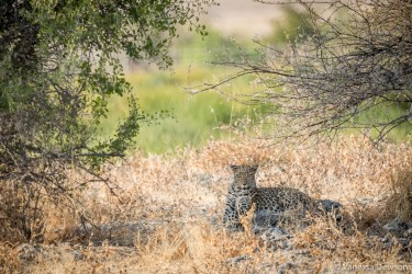 Leopard resting in the shade.
