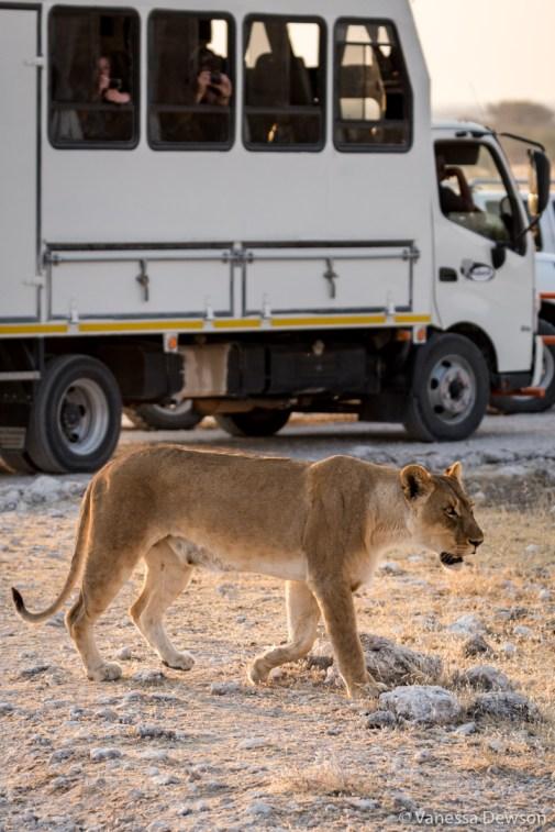 Female lion and tourists.