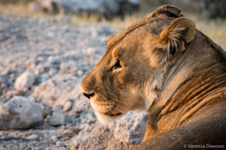 Lion in last light of day.