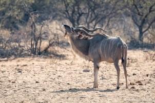 Kudu scratching