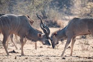 Kudu Fighting