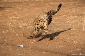 Cheetah chasing a lure