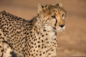 Ambassador Cheetah at CCF