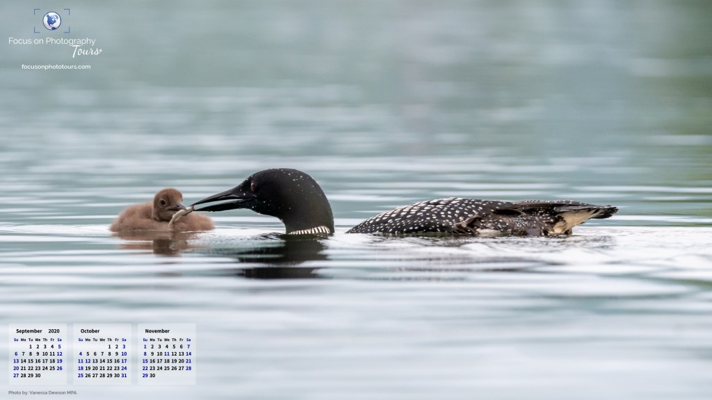 Loon feeding loonlet. Wallpaper calender for September to November 2020. Dimensions: 2560 x 1440.