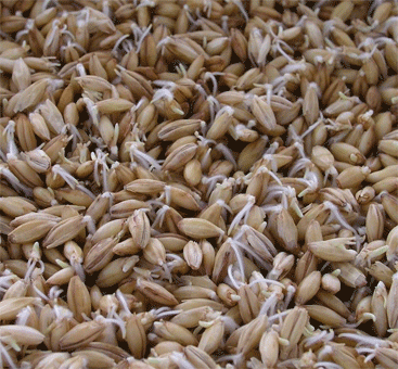 sprouted barley seeds