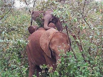 Naboishu climbing on top of Ziwadi