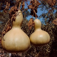 Bird Nest – Gourd