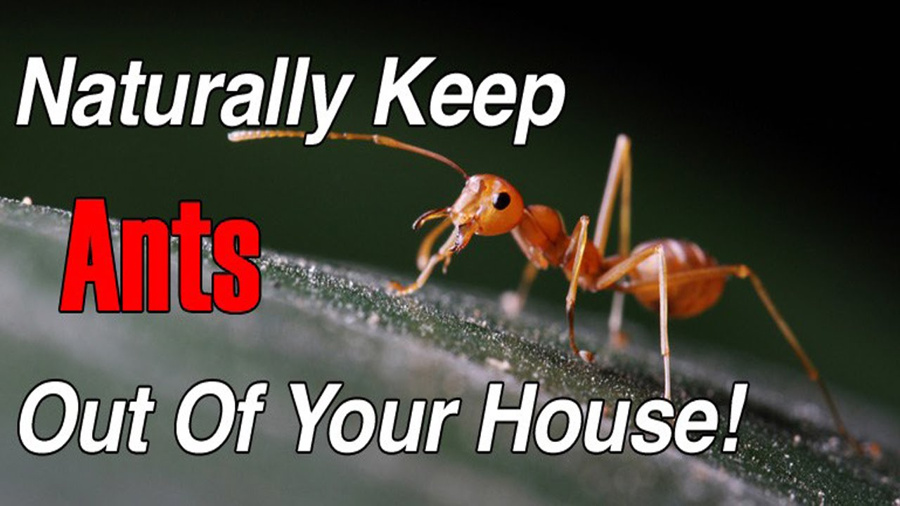 How To Get Rid Of Little Black Ants Naturally