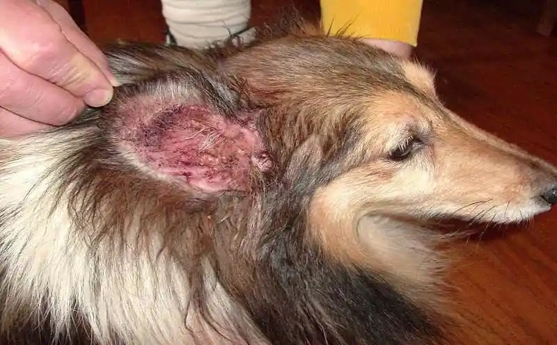 Home Remedies for Dog Ear Infection Ear Mites Vs. Yeast Infection In Dogs