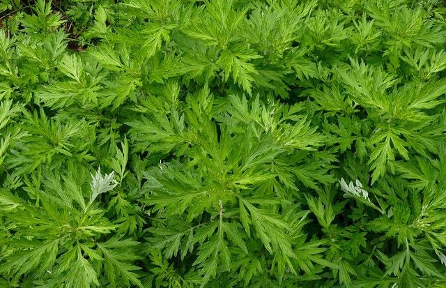 mugwort leaves