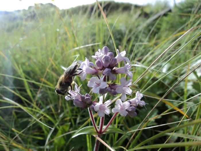 jatamansi flower