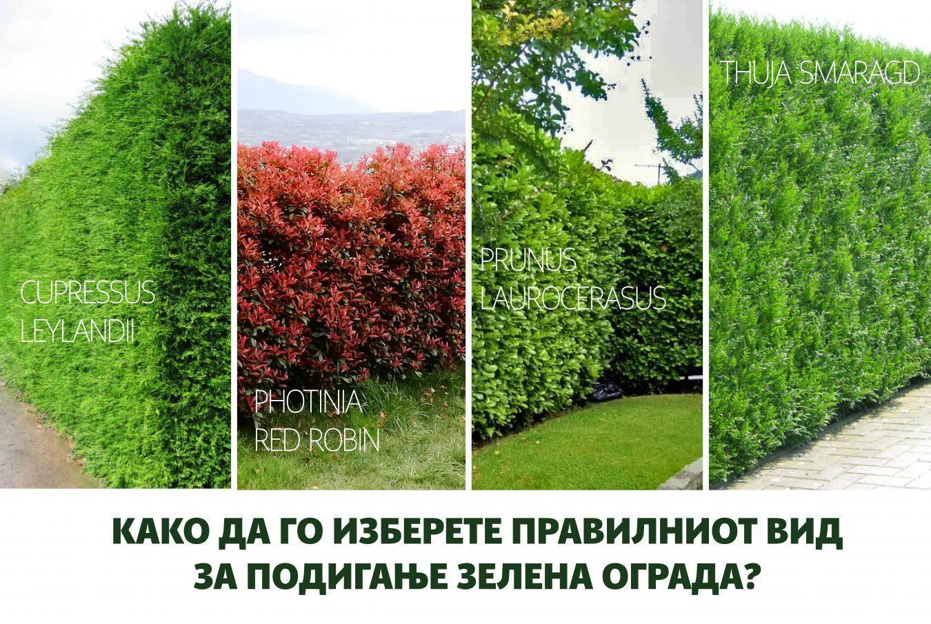 Зелена ограда