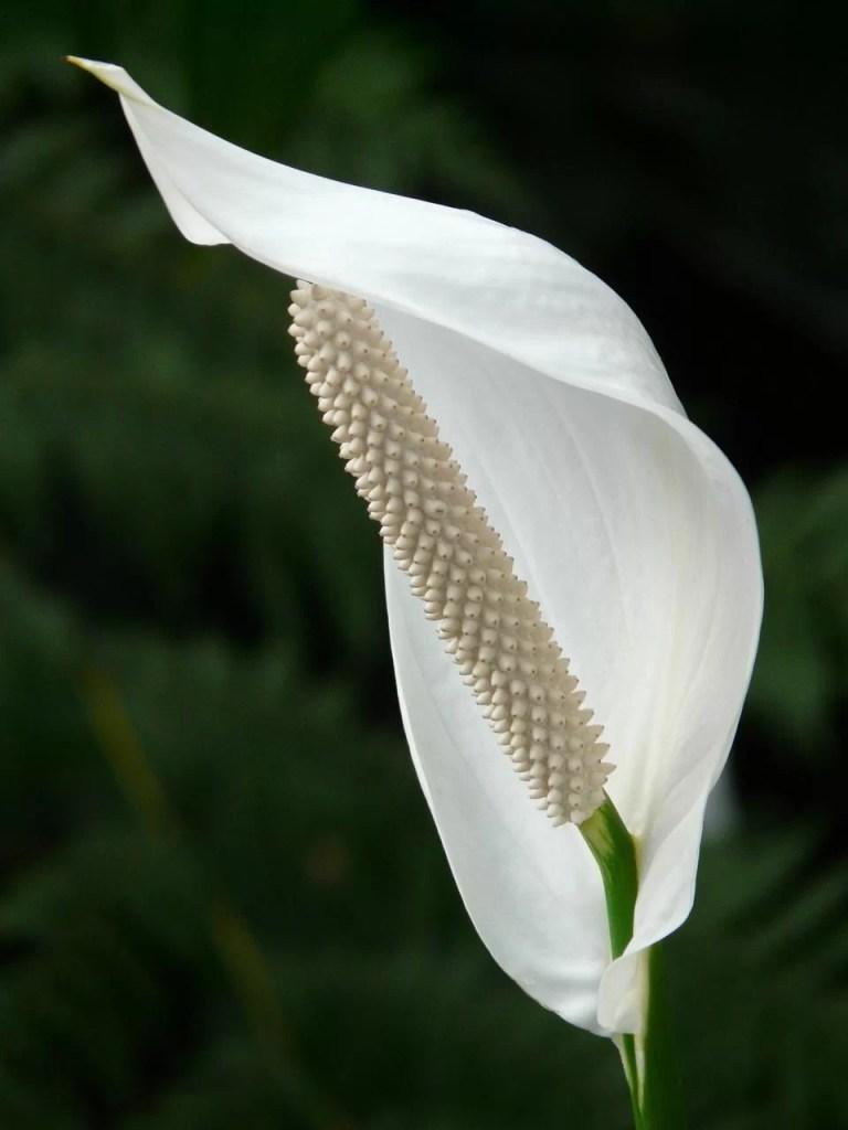 Spathiphyllum sobno rastenie vo bela boja