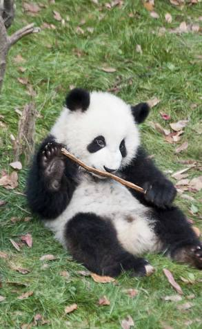 It looks like this fellow is well on his way to developing the important adult skills of lying around and ignoring other pandas.